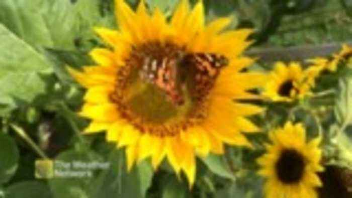 Bee and butterfly enjoying a sunny day atop a sunflower