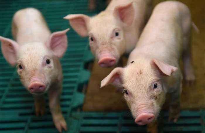 Famers jailed for smuggling pig semen in shampoo bottles