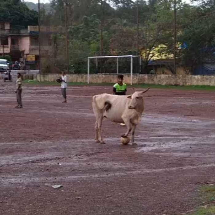 Cow soccer player can bend it like Beckham