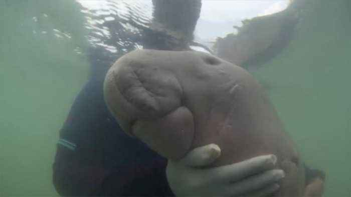 Baby Dugong That Became A Viral Sensation Dies With Plastic Waste In Stomach