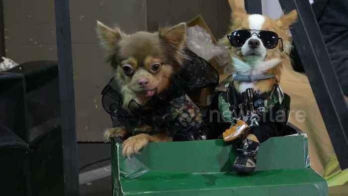 Stylish chihuahua dogs man minature tank