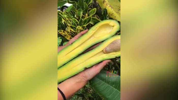 A farm in America is selling gigantic avocados