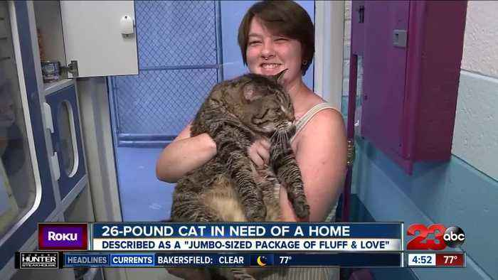 Check This Out: 26-pound cat in need of a home