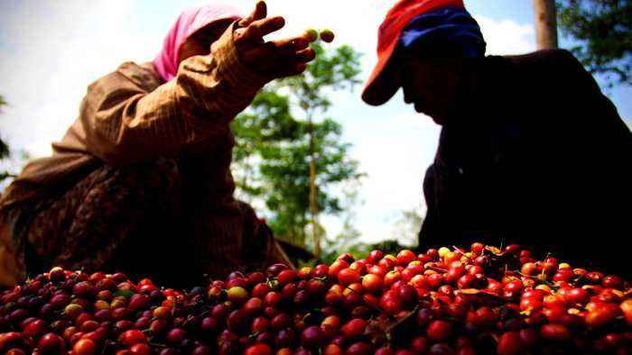 Indonesian coffee farmers struggle as prices hit 8-year low