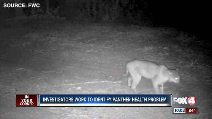 Panthers' walking trouble caused by spinal issue, veterinary neurologist says