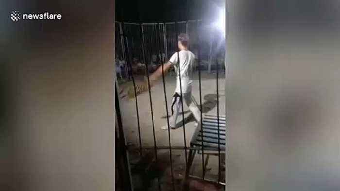 Shocking moment circus tiger escapes cage during performance in China's Yuanyang