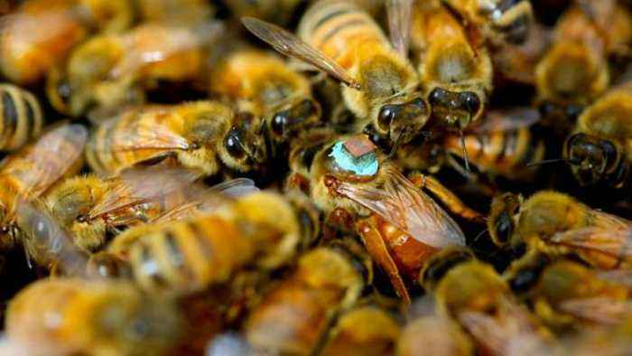 Study Found Males Inject Queen Bees With Blinding Toxin During Sex