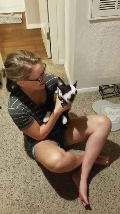 Boston Terrier Puppy Howls Along With Human