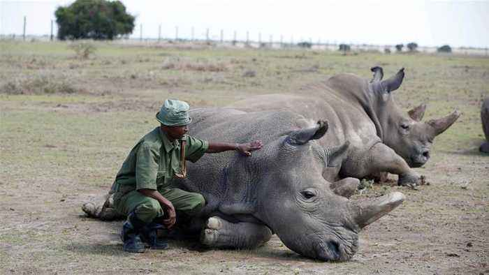 Scientists create embryos in bid to save northern white rhinos