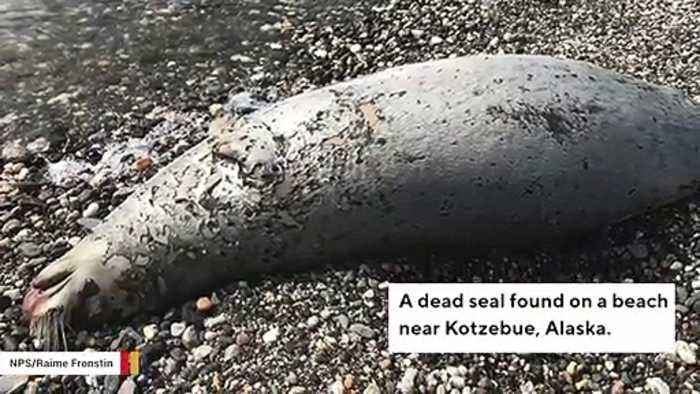 NOAA Raises Alarm After 282 Seals Found Dead