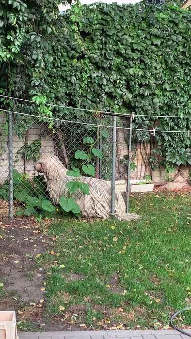 Fluffy Dog Forces Way Through Fence