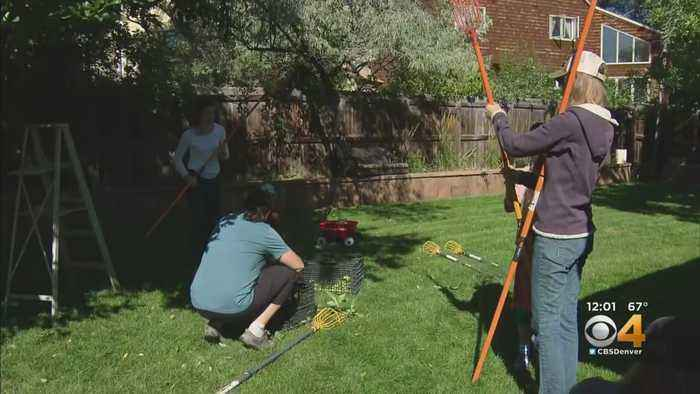 Team Of Volunteers In Boulder Harvests Fruit From Trees, Helps Avoid Bear Encounters