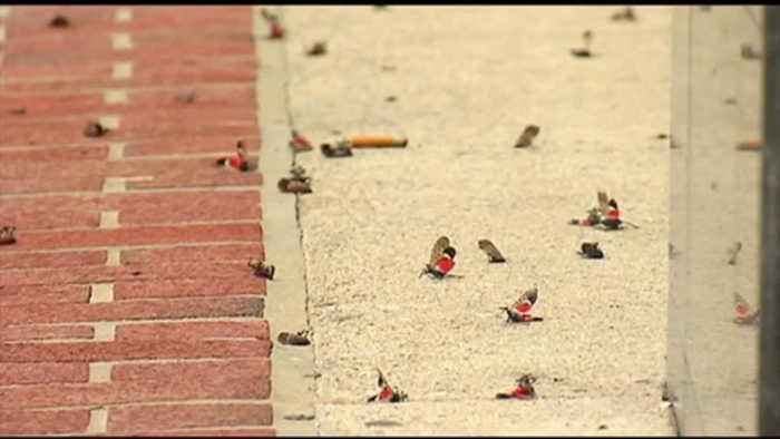 VIDEO People in Allentown do their part to squish spotted lanternflies
