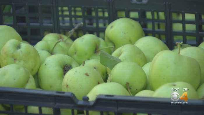 Volunteers 'Rescue' Unwanted Fruit to Keep Bears Away