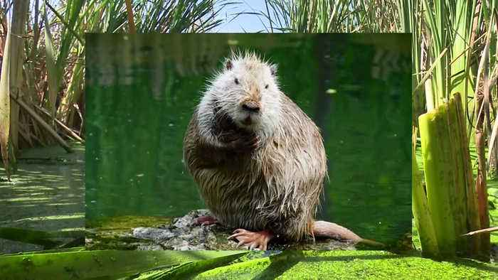 State Steps Up Multimillion-Dollar Battle to Eradicate Nutria from Delta