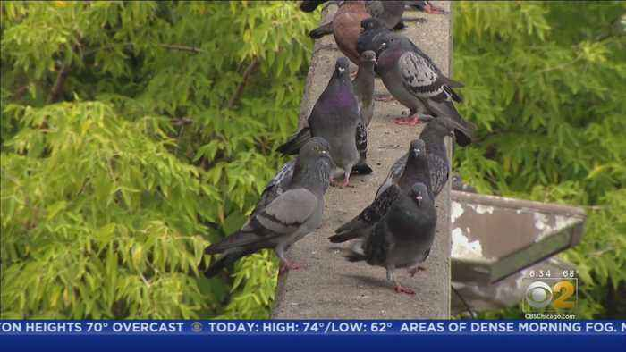 State Rep. Searches For Funds To Clean Up Irving Park 'Pigeon Poop Station,' Gets Pooped On During Interview