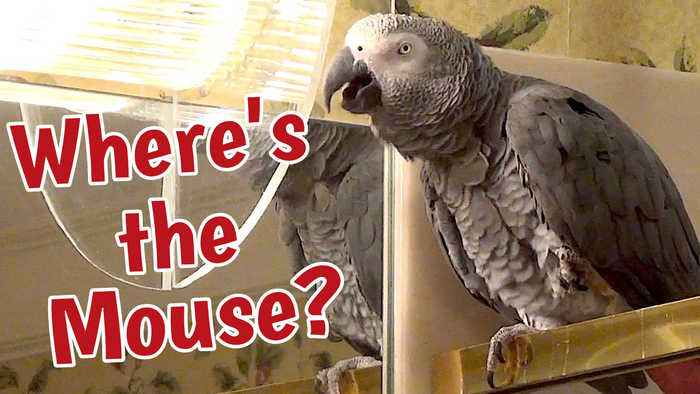 Talking parrot wants to know 'where's the mouse'