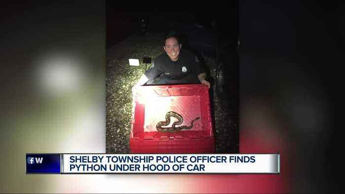 Shelby Township police officer finds python under hood of car