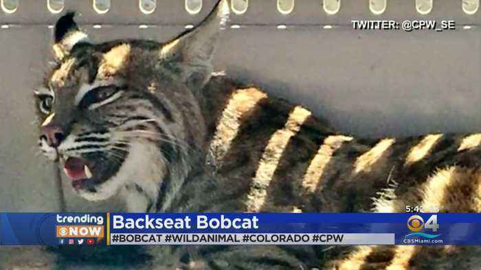 Colorado Woman Put Injured Bobcat In Backseat With Her Child