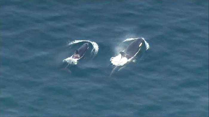 Pod of orcas spotted frolicking in water near Seattle