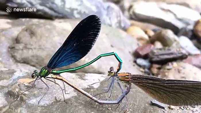 Dragonflies spotted mating in China's Chongqing