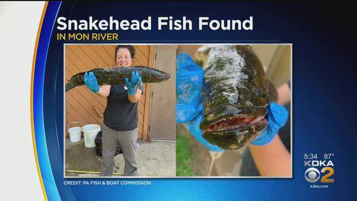 First Invasive Northern Snakehead Fish Caught In The Monongahela River