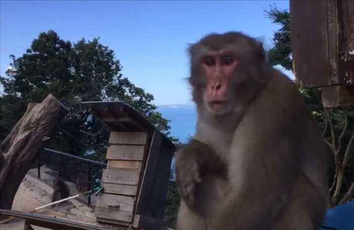 Monkey predicts winners of upcoming Rugby World Cup matches in Southern Japan