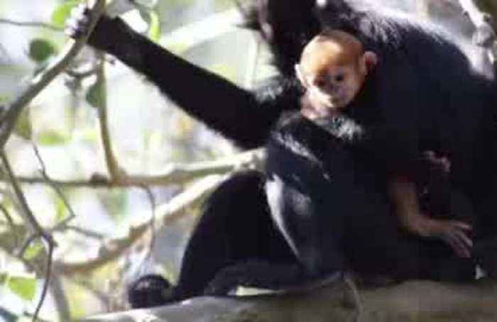 Endangered baby monkey born at Australian zoo