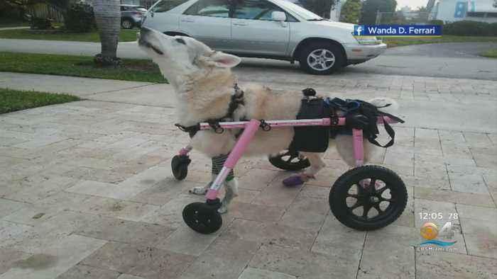 Disabled Dog Left In Stolen Car Found Dead