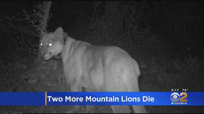 Cocktail Of Rat Poisons Linked To Mountain Lions Found Dead In Santa Monica Mountains