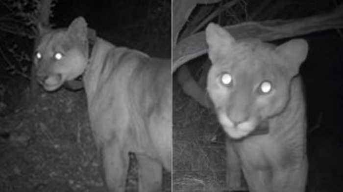 Two Mountain Lions from Santa Monica Mountains Study Found Dead After Eating Rat Poison