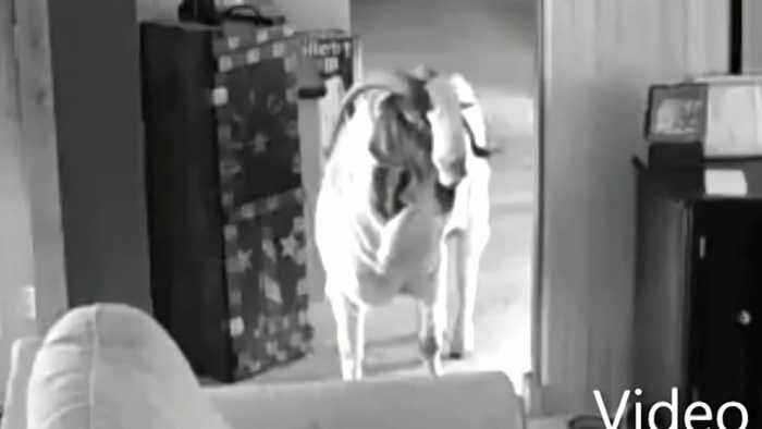 Goat not kidding around by breaking into Ohio home