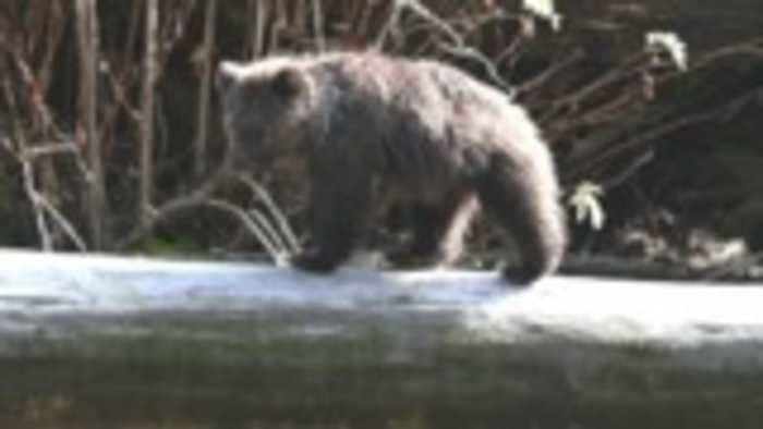 Stunning views up close and personal with B.C. grizzly bears during the salmon run
