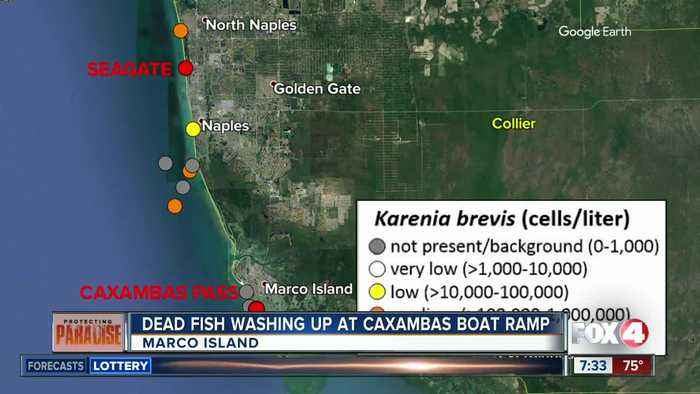 Dead fish washing up in Marco Island; red tide in the area