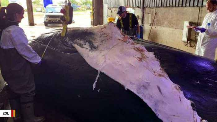 Whale Dies After Reportedly Being Hit By Ship