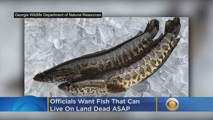 Officials Want Fish That Can Live On Land Dead ASAP
