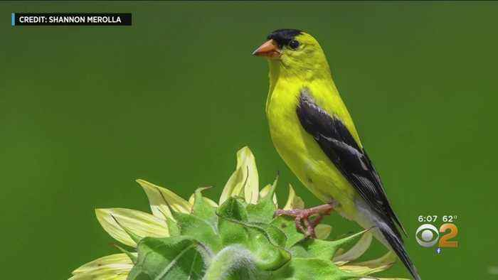 New Jersey State Bird Endangered By Climate Change?
