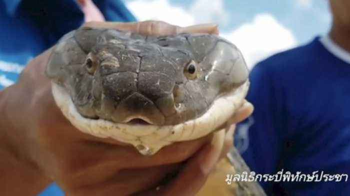 Must-See! 13-Foot King Cobra Rescued from Sewer