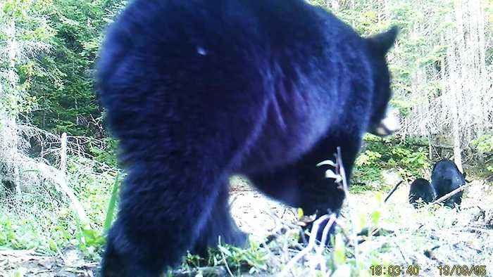 Hidden camera at beaver dam reveals several surprising visitors