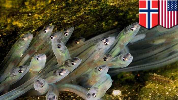 Internal magnetic compass helps European glass eels to navigate