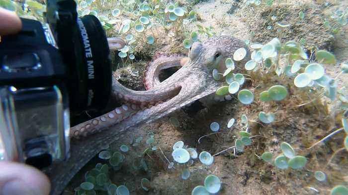 Octopus Tries to Take Camera