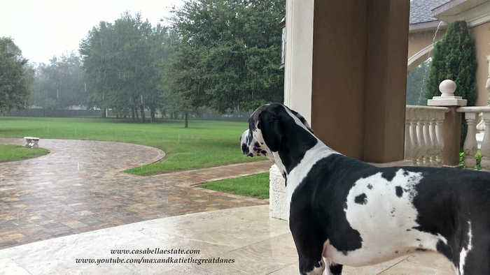 Great Dane watches Tropical Storm Nestor in Florida