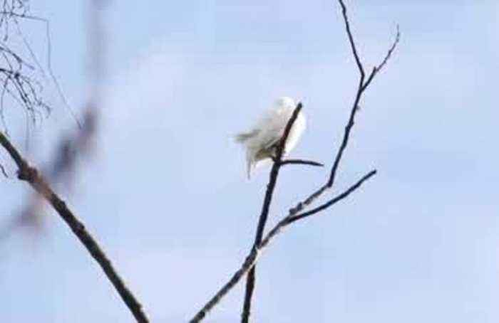 Listen to the loudest bird call ever recorded