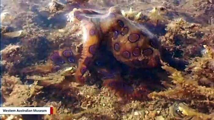 If You Spot This Cute Octopus On A Beach, Don't Touch It