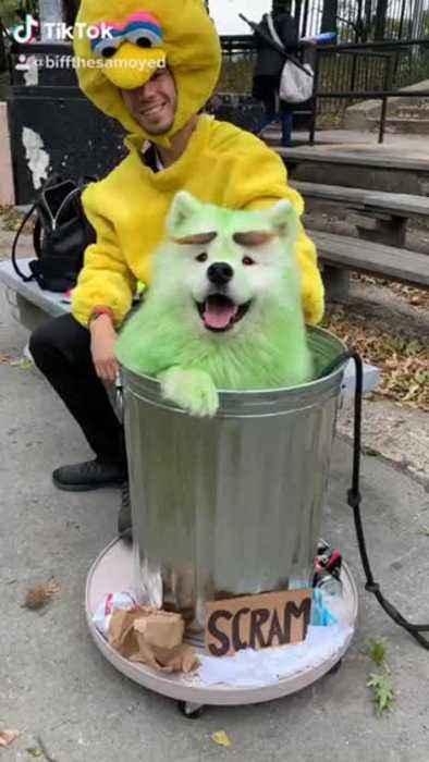 Samoyed dresses as Oscar the Grouch for Halloween