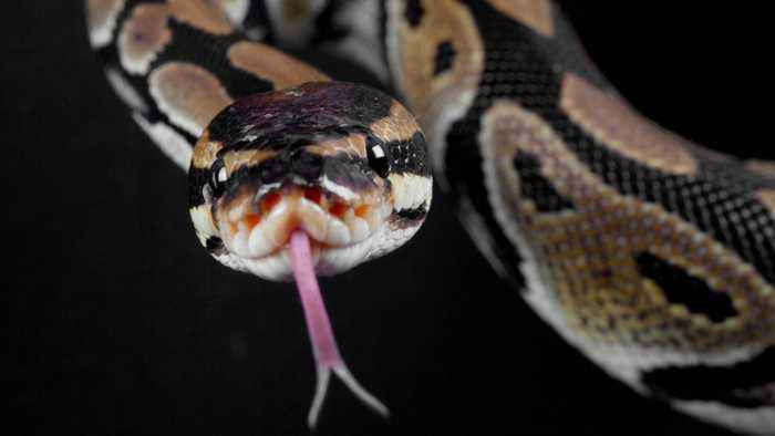 Woman Strangled By Python, And You Won't Believe What Cops Found In Her Home