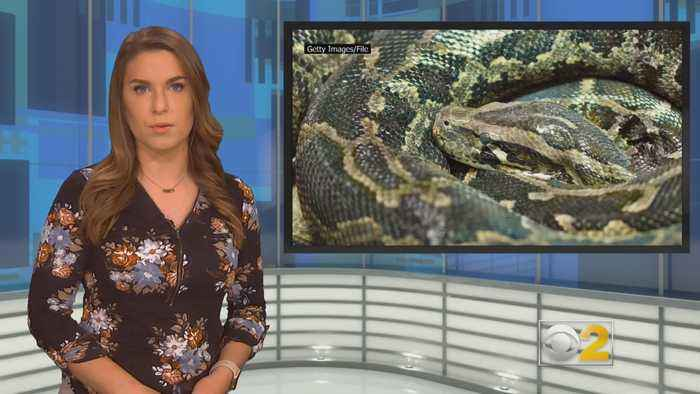 Woman Killed By Python At Home Filled With 140 Snakes