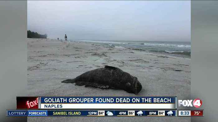 Dead goliath grouper found on the beach in Naples