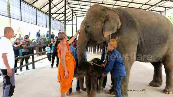 Baby elephant born at zoo in Thailand and blessed by Buddhist monks