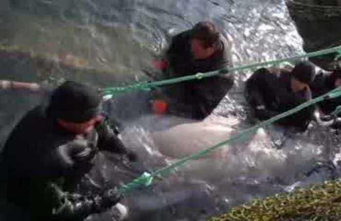 Russia begins release of remaining captive whales